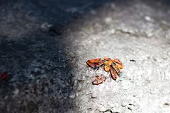 Clumps of firebug on a stone. In the summer Royalty Free Stock Photos