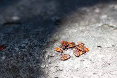 Clumps of firebug on a stone. In the summer Royalty Free Stock Photo