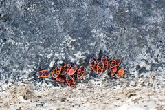 Clumps of firebug on a stone. In the summer Stock Image