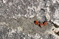 Clumps of firebug on a stone. In the summer Royalty Free Stock Images