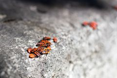 Clumps of firebug on a stone. In the summer Stock Photography
