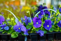 Clumps of purple pansies royalty free stock image