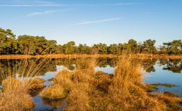 Clumps of reeds reflected in the mirror smooth water surface Stock Image