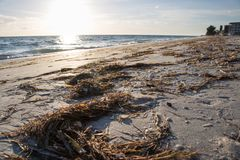 Seaweed on Beach. Clumps of seaweed washed up on a Florida beach Stock Images