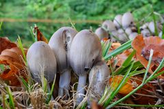 Clumps of Tippler`s bane mushrooms Stock Image