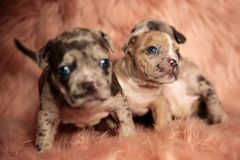 Clumsy American Bully puppies sitting and standing. Clumsy American Bully puppies with blue eyes sitting and standing on pink furry background while curiously royalty free stock photography