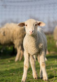 Clumsy lamb Stock Photography