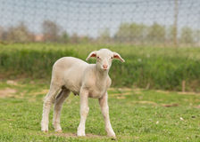 Clumsy lamb. Standing on grass and looking at camera Stock Images