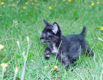 Clumsy little kitten on the royalty free stock photography