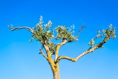 Clumsy olive tree against the blue sky Stock Image