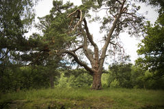 Clumsy tree. Russian North. Island Valaam. Clumsy tree Stock Images