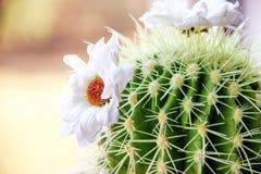 clumy ανάπτυξη λουλουδιών ανθίσματος κάκτων όπως τις νέες πλευρές μικρές Στοκ εικόνες με δικαίωμα ελεύθερης χρήσης