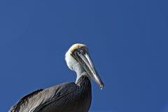 Cluose acima de um pelicano Imagens de Stock Royalty Free
