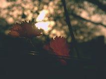 Cluse acima da vista no vinhedo do carst em cores do outono no por do sol Escuro - sombras alaranjadas vermelhas das folhas Fotografia de Stock Royalty Free