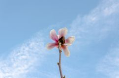 Cluse encima de la flor de Sakura Fotos de archivo