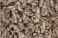 Cluse up Indiański korkowy drzewo Obrazy Royalty Free