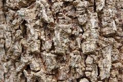 Cluse up Indiański korkowy drzewo Fotografia Stock
