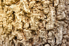 Cluse up Indiański korkowy drzewo Zdjęcia Royalty Free