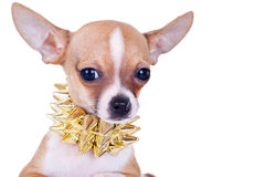 Cluseup picture of a chihuahua puppy Stock Photography
