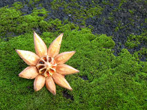 Clusia Pod on Moss Stock Images