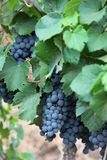 Cluster. A bunch of grapes hanng from a vine near Mendoza Argentina Royalty Free Stock Images