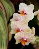 Cluster 2 van de orchidee stock foto