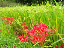 Cluster amaryllis Royalty Free Stock Photos