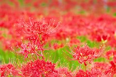 Cluster amaryllis flowers Stock Images