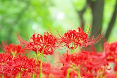 Cluster amaryllis flowers Royalty Free Stock Photos