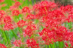 Cluster amaryllis flowers Stock Photography