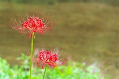 Cluster amaryllis flowers Royalty Free Stock Photography