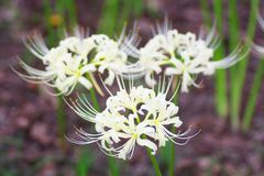 Cluster amaryllis flowers Royalty Free Stock Images