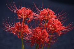 Cluster amaryllisLycoris radata/Red spider lily. A cluster amaryllis is a toxic bulb plant with toxin called ricoline royalty free stock photo