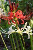 Cluster amaryllisLycoris radata/Red spider lily. A cluster amaryllis is a toxic bulb plant with toxin called ricoline royalty free stock photos