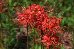 Cluster amaryllisLycoris radata/Red spider lily. A cluster amaryllis is a toxic bulb plant with toxin called ricoline royalty free stock image
