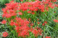 Cluster amaryllisLycoris radata/Red spider lily. Cluster amaryllis makes beautiful flowers, but it is actually a poisonous plant stock images