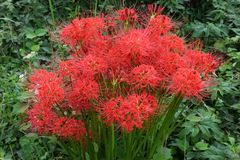 Cluster amaryllisLycoris radata/Red spider lily. Cluster amaryllis makes beautiful flowers, but it is actually a poisonous plant royalty free stock photo