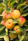 Cluster of apples Stock Photography