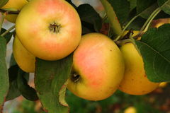 Cluster of apples Royalty Free Stock Photo