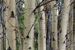 Cluster of aspen trees, Wyoming stock images