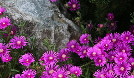 A Cluster of Asters Bordering a Stone Stock Image