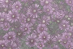 A Cluster of Asters Stock Photography
