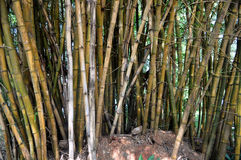 Cluster of bamboo plants Stock Image