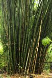 A cluster of bamboo stalks grow seemingly as one unit. royalty free stock image