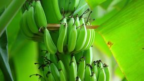Banana cluster hanging from tree closeup shot panning. A cluster of bananas growing on a banana tree plantation, natural farmland in central Vietnam. Vibrant stock video footage