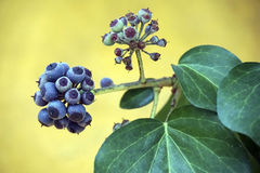 A cluster of berries on a plant Royalty Free Stock Photography