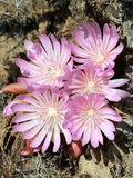 Cluster of Bitterroot Flowers - Lewisia rediviva Stock Photos