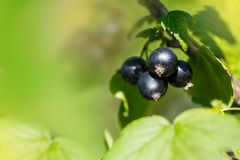 Cluster of black currant Stock Image