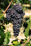 Cluster of black grape Stock Image