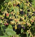 Cluster of Blackberries Royalty Free Stock Images